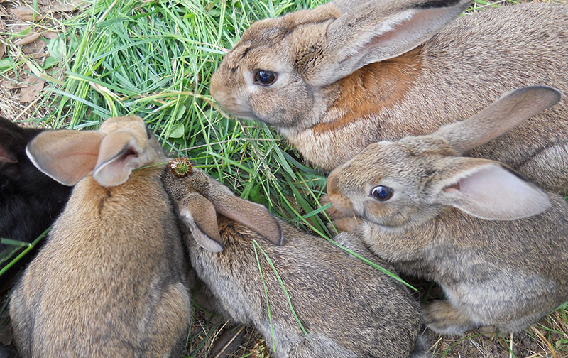 Tuscany Rabbit Breeding